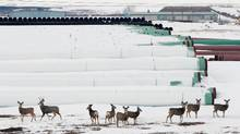 Deer congregate around pipe stored in North Dakota for the Keystone XL project. (Terray Sylvester/REUTERS)