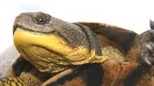 An Ontario man has been fined $3,500 after being caught smuggling turtles at the Niagara border. (Bob Bowles For The Globe and Mail)