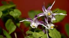 The Epimedium Grandiflorum (also known as the Purple Pixie, Fairy Wing) (Handout/Handout)