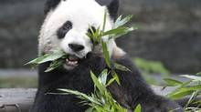 Meet giant panda Er Shun, one of the two pandas arriving in Canada this month. There may be fewer than 5,000 pandas left on the planet in the wild and in captivity, but getting them to breed in captivity has become something of a bedroom farce. (Toronto Zoo)