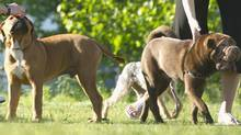 Condo dogs (Guinness, a four-month-old French Mastiff and English Bulldog mix, and Porter, a 10-month-old Chinese Shar Pei) enjoy the park in downtown Toronto (Kevin Van Paassen/Kevin Van Paassen/ The Globe and Mail)