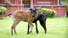 Kate the Great Dane is raising orphan fawn Pippin in a Comox Valley woman's backyard. (Isobel Springett)