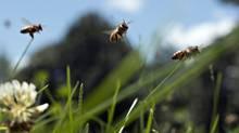 Honeybees fly near Hennepin, Ill., on July 3, 2014. (Daniel Acker/Bloomberg)