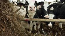 Young cows are seen in the Armstrong Manor Farm heifer barn on November 17, 2010. (JENNIFER ROBERTS For The Globe and Mail)