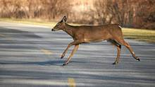 Data from Transport Canada reveals that an average of more than 100 large animal and vehicle collisions occur across the country each day. (James M Phelps/iStockphoto)