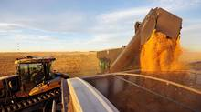 Wheat is dumped into a grain truck for transport at a farm near Fort MacLeod, Alberta. (TODD KOROL/REUTERS)