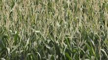 Corn grows in a field August 17, 2011 near St. Olaf, Iowa. (Scott Olson/Getty Images/Scott Olson/Getty Images)