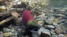 A spawning sockeye salmon is seen making its way up the Adams River in Roderick Haig-Brown Provincial Park near Chase, B.C., in October, 2011. (Jonathan Hayward/THE CANADIAN PRESS)