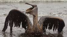A brown pelican is seen on the beach at East Grand Terre Island along the Louisiana coast on Thursday, June 3, 2010. Oil from the Deepwater Horizon has affected wildlife throughout the Gulf of Mexico. (Charlie Riedel/Charlie Riedel/The Associated Press)