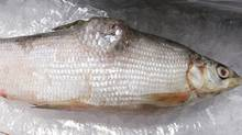 A deformed white fish, caught in Lake Athabasca near Fort Chipewyan, is on display during a press conference in Edmonton, Alta., on Thursday, September 16, 2010. The National Pollutant Release Inventory shows that the oil sands industry is releasing large pollutants and deleterious substances have been deposited in the water. (Jason Franson/The Canadian Press/Jason Franson/The Canadian Press)