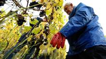 A grape picker throws grapes into a bucket at the Denbies Wine Estate in Dorking, southern England October 22, 2009. (STR)