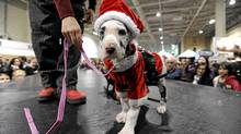 Just what it looks like, folks: A dog dressed as Santa. From Winter Woofstock