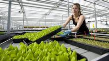 Lauren Rathmell tends to some vegetable plants in the nursery at the Lufa Farms rooftop greenhouse in Montreal. (Graham Hughes/The Canadian Press/Graham Hughes/The Canadian Press)