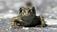 A migration of toads described as a croaking, moving carpet and one of the world's environmental wonders is dividing a village over forestry jobs and the protection of tiny amphibians. (Kerri Martin/THE CANADIAN PRESS)