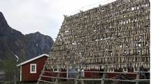 Racks of salted cod dry in the sun in Svolvaer, Norway. Fishermen and scientists here agree they've never seen as many cod as they're catching now, and they say melting arctic ice is the reason. (Sheila Norman-Culp/Sheila Norman-Culp/Associated Press)