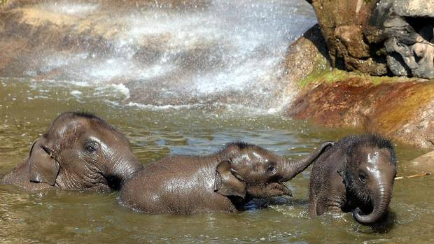 Asian Elephant Nayan, and babies Hari and Bala Hi-Way take a dip to cool down from the hot weather at Chester Zoo England, Tuesday July 9, 2013. (Peter Byrne/AP)