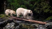 A rare white kermode bear with her cub in the Great Bear Rainforest, B.C. (Kyle Breckenridge/Rex Feature Ltd.)