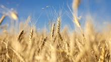Canadian wheat prices could be pushed higher if the heat wave across much of the U.S. ruins some of the corn crop. (Chris Bolin For The Globe and Mail/Chris Bolin For The Globe and Mail)