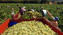 Melon de Bourgogne, the grape used to make Muscadet in France, has found a new home in Ontario. (FRANK PERRY)