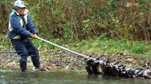 Dennis Thomas, a member of the Esquimalt First Nation, continues his family's ancient cultural tradition as he hauls 12 large salmon on his fishing spear in the Goldstream River on Sunday October 24, 2004. (Deddeda Stemler/ The Canadian Press/Deddeda Stemler/ The Canadian Press)