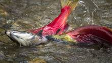 A male sockeye salmon attacks another male as they make their way up a spawning river in B.C. (John Lehmann/The Globe and Mail)
