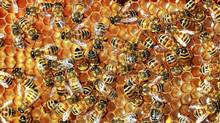 Honeybees at Van Dusen Gardens in Vancouver. (Jeff Vinnick for the Globe and Mail)