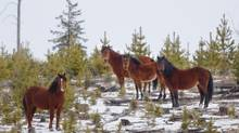 Horses near Sundre, Alta., are too populous, the province says, but culling is at odds with local heritage, opponents argue. (John Ulan For The Globe and Mail)