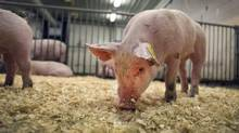 Producers of a vaccine developed to help thwart a fast-spreading swine virus that recently surfaced in Canada says the new drug is showing promise, reducing hog deaths in several American states. (MOE DOIRON/THE GLOBE AND MAIL)