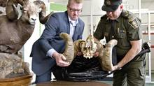 Executive Director Fish and Wildlife, Travis Ripley, left, and Fish and Wildlife officer Dennis Prodan unveil the skull of a bighorn sheep found near Hinton, Alta., in Edmonton on April 22, 2014. (JASON FRANSON/THE CANADIAN PRESS)