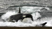 'Male killer whales are pretty much mummy's boys and struggle to survive without their mother's help,' said Dan Franks of the University of York. (Turismo Chubut/Handout)