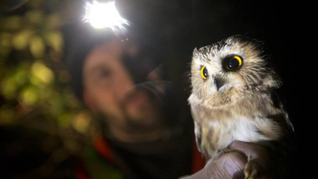 The northern saw-whet owl found only on Haida Gwaii is a distinct subspecies that has undergone a dramatic population decline over the past decade. In 2006, the Committee On The Status Of Endangered Wildlife In Canada estimated there were only about 1,900 birds left on the islands, and the numbers have fallen by about 13 per cent over the past decade. (John Lehmann/The Globe and Mail)