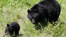 A black bear and her cub walk through the grass on a ski run on Blackcomb mountain in Whistler, B.C., Friday June 26, 2009. (Jonathan Hayward/The Canadian Press/Jonathan Hayward/The Canadian Press)