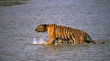 A Royal Bengal tiger prowls in Sunderbans, at India's Sunderban delta, on April 26, 2014. (JOYDIP KUNDU/ASSOCIATED PRESS)