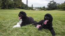 Bo,left, and Sunny are pictured on the South Lawn of the White House in Washington in this photo released on August 19, 2013. (REUTERS)
