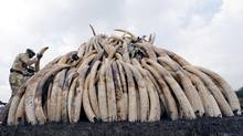 A Kenya Wildlife Service (KWS) ranger stacks elephant tusks, part of an estimated 105 tonnes of confiscated ivory to be set ablaze, on a pyre at Nairobi National Park near Nairobi, Kenya, April 20, 2016. (THOMAS MUKOYA/REUTERS)