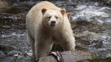 A Kermode bear, better know as the Spirit Bear, is shown in the Great Bear Rainforest, B.C., on Sept, 18, 2013. (JONATHAN HAYWARD/THE CANADIAN PRESS)