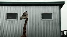 A lonely giraffe in Bestiaire