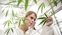 Sarah Stuive, biological control consultant, checks for bugs at Bedrocan Canada, a medical marijuana facility in Toronto, on Monday, Aug. 17, 2015. Shares in publicly traded marijuana suppliers surged in early trading Tuesday, with a Liberal election victory potentially vastly increasing the size of the market that is up for grabs. (Darren Calabrese/THE CANADIAN PRESS)