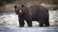 A grizzly bear is pictured on October 7, 2011. Two grizzly bears that caused a small B.C. town on a coastal island to go into partial lockdown have been captured alive and will be released in a wilderness area on the mainland. (JOHN LEHMANN/The Globe and Mail)