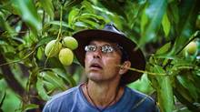 Curator of tropical fruit, Richard Campbell, mesmerized by a mango at the University of Florida, Tropical Research and Education Centre. (Handout)