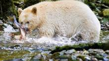 Coastal First Nations say their ban on hunting is to protect the Kermode bear. (JOHN LEHMANN/GLOBE AND MAIL)