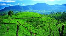 Perfectly manicured rows of tea plants add to the picturesque landscape of Sri Lanka's Central Highlands. (Robin Esrock/Robin Esrock)