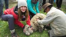 Alex Westcott, a student at Lakefield College School in Lakefield, Ont., shears sheep on a trip to Ecuador. (Lakefield)