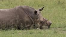 In this Thursday, March 9, 2017 photo, a dehorned rhino bull lies on the ground at a rhino breeding farm near Klerksdorp, South Africa. (Renee Graham/AP)
