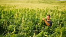 Jim Rogers is growing 80 hectares of hemp in northern Saskatchewan. (David Stobbe for the Globe and Mail)