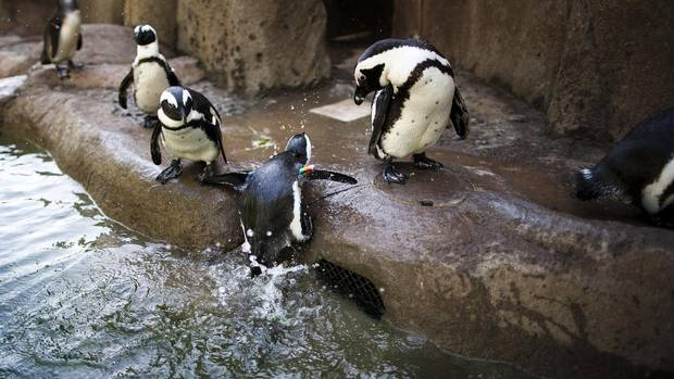 An African penguin jumps out of the water at the Vancouver Aquarium. Its habitat, called Penguin Point, was inspired by Boulders Beach in South Africa. The habitat was designed by Aquarium designer Doug Munday, and the rock elements were constructed by Raincity Rock and Waterscapes of Vancouver. (Rafal Gerszak For The Globe and Mail)