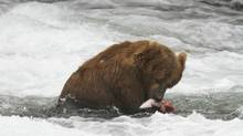 In this July 2012 photo provided by Roy Wood and explore.org, a bear is seen eating a fish at Brooks Camp in Katmai National Park and Preserve, Alaska. (AP)