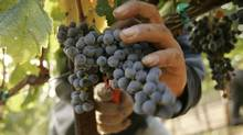 A worker pick grapes at a vineyard in Napa Valley. (ROBERT GALBRAITH)
