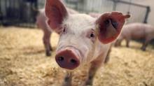 Under development for more than a decade, the University of Guelph's 20 Enviropigs are close behind a Canadian-made supersized salmon in a race to become the first genetically modified animals allowed into the food system. (Moe Doiron/Moe Doiron/The Globe and Mail)