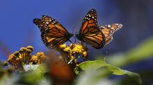 Monarch butterflies from Central and Eastern Canada travel up to 2,500 kilometres to Mexico in the fall and winter in dense, tree-covering colonies. (Marco Ugarte)